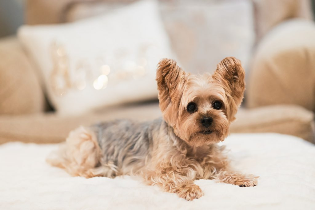 Pet Photography - Cute Yorkie